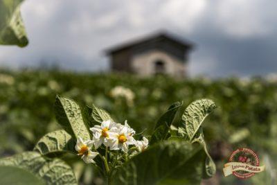 Dalla Semina alla Fioritura - La Patata di Treschè Conca